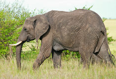 Elephant in masai mara national park. Kenya Stock Images