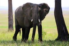 Elephant at masai mara national park Stock Photos