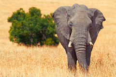 Elephant in Masai Mara Stock Photos