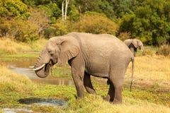 Elephant in Masai Mara Royalty Free Stock Photos