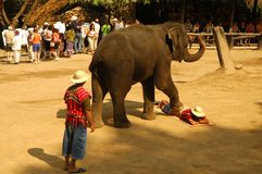 Elephant massage. Massage made by an elephant at a show in an elephant park Stock Images
