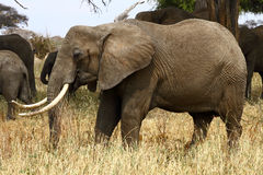 Elephant Matriarch. African Bush Elephant (Loxodonta africana) matriarch grazing royalty free stock photo