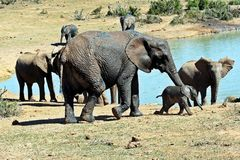 Elephant Matriarch and New Born Calf Stock Photo