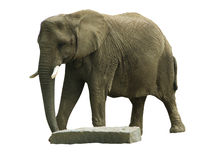Elephant might. An elephant attempting to move a rock Royalty Free Stock Photo