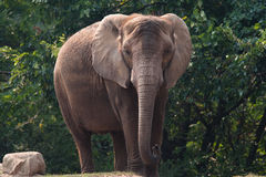 Elephant. A elephant mills around outside Royalty Free Stock Image