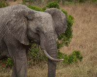 Elephant with missing tusk Royalty Free Stock Images