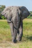 Elephant with missing tusk walking towards camera Stock Photos