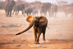 Elephant mock charging stock photos