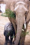 Elephant Mom and baby Stock Image