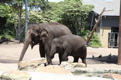 Elephant Mom and Baby in Taronga Zoo Australia Stock Photo