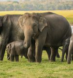 Elephant mom protecting baby. Huge elephant mother protecting baby with furious look at polonnaruwa , srilanka Stock Images