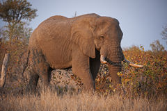 Elephant in Mopani Bush Stock Photography
