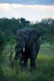 Elephant in Moremi Stock Photos
