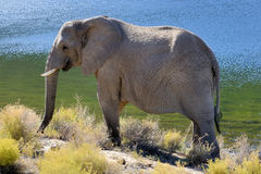 Elephant in the morning sun Royalty Free Stock Photos