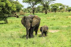 Mother and baby elephant. At Tarangire National Park in Tanzania africa on green grass ground in the wild Stock Images