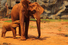 Elephant. Mother with Baby Elephants Walking Outdoors. Stock Image