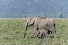 Elephant Mother and baby Grazing in Dhikala Grassland. In Corbett Tiger Reserve India stock photo