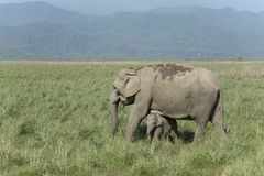 Elephant Mother and baby Grazing in Grassland. In Corbett Tiger Reserve India royalty free stock images