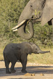 Elephant Mother and Baby (Loxodonta africana) Stock Photos