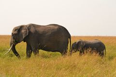 Elephant mother with baby. Elephant and baby in Masai Mara National Park, Kenya Royalty Free Stock Photo