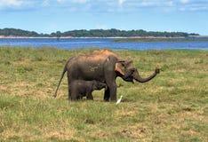 Elephant mother breastfeeding her elephant infant baby in national park royalty free stock photo