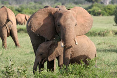 Elephant mother and calf Royalty Free Stock Photos