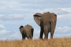 Elephant mother and calf. African elephant mother and calf walking together on horizon over grassland in Masai Mara Royalty Free Stock Image