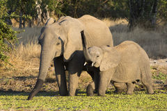 Elephant mother and calf drinking Royalty Free Stock Photography