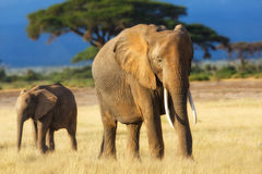 Elephant mother with calf. Early in the morning in Amboseli National Park, Kenya stock images
