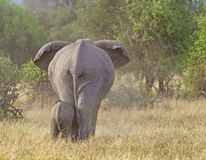 Elephant mother and calf Elephantidae Royalty Free Stock Images