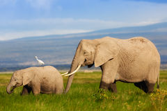 Elephant mother with calf Royalty Free Stock Images
