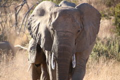 Elephant mother and calf. Gracefully walking toward the drink Stock Photo