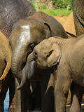Elephant mother and calf. An elephant and her calf cuddling royalty free stock image