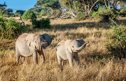 Elephant mother with calf in Kenya, Africa Royalty Free Stock Photos