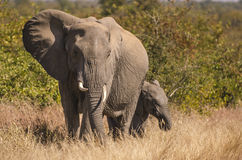 Elephant mother and calf Royalty Free Stock Photo