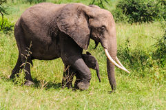Elephant mother with calf in Tarangire Park, Tanzania Royalty Free Stock Photo