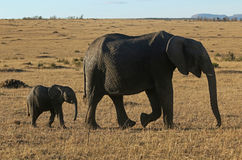 African Elephant Mother and Calf  Royalty Free Stock Photos