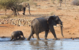 Elephant mother and calve leaving waterhole Stock Photos