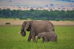 Elephant mother and child. Mother elephant and calf wlaking through Keny's Masai Mara National Park Stock Image