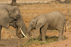 Elephant mother and child. Eating Royalty Free Stock Images