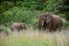 Elephant Mother and Child Royalty Free Stock Photo