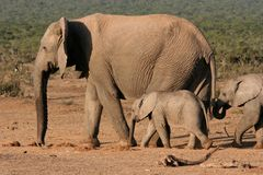 Elephant Mother and Children Royalty Free Stock Photo