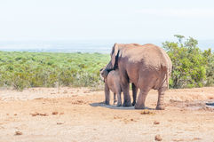 Elephant mother comforting calf Royalty Free Stock Photos