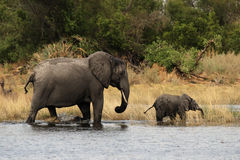 Elephant mother with cub Stock Photography