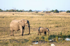 An elephant mother and her baby in Botswana. Near the border to Namibia Royalty Free Stock Photo