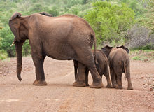 Elephant mother and two babies Royalty Free Stock Photos