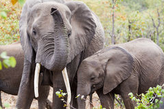 Elephant Mother & Young. Elephant mother with feeding young, showing off her tusks and raising her trunk in Kruger National Park, South Africa Royalty Free Stock Photography