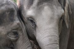 Elephant motherlove for her daughter Royalty Free Stock Image