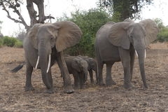 Elephant mothers protecting her babies. No doubt: they would attack if we would come too close Royalty Free Stock Photo