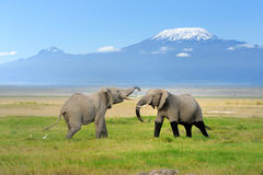 Elephant with Mount Kilimanjaro. In the background royalty free stock images